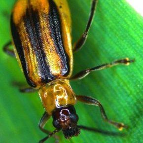 Названы периоды наивысшей вредоносности кукурузного жука