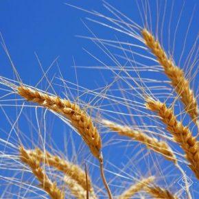 Обмолот пшеницы на Львовщине начато по урожайности 5,9 т/га