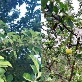 На Одесщине местами повторно зацвели плодовые деревья