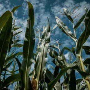 Средняя урожайность кукурузы в Украине прогнозируется на уровне прошлого года