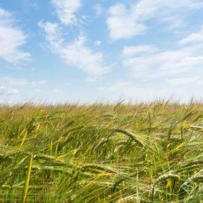Посевы озимых и яровых культур находятся преимущественно в хорошем состоянии — аналитики