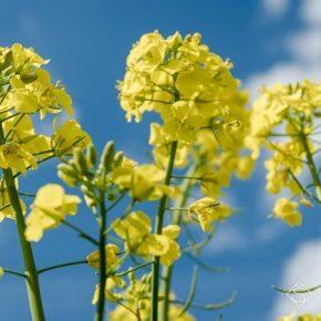 При покупке семян рапса Semelita Vitagro Partner обеспечит аграриев средствами защиты растений