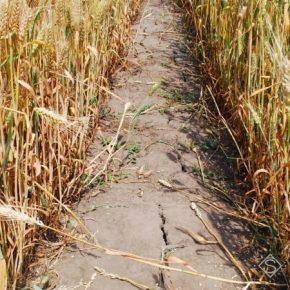 Из-за засухи урожайность сельхозкультур в Одесской области сократилась почти в десять раз — заявление