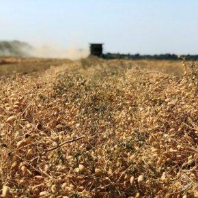 Нут не оправдал надежд сельхозпроизводителей Херсонщины