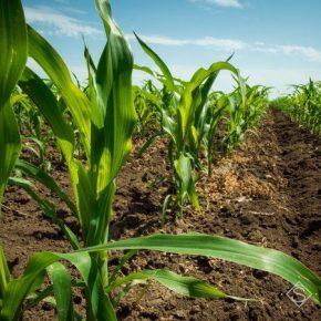 В Черкасской области зафиксирован рекорд посевных площадей кукурузы