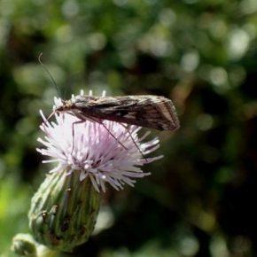 Посевами сельхозкультур на Хмельнитчине распространяется луговой мотылек