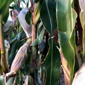 Среди аграриев растет спрос на фиолетовую кукурузу — селекционер