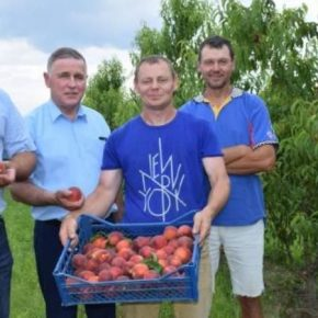 В саду на Волыни собирают первые урожаи морозостойкого персика