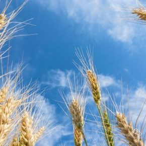 В Украине зафиксирован новый рекорд урожайности пшеницы