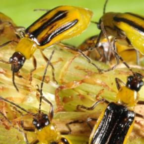Определены районы Области с самой высокой шкодочинністю кукурузного жука