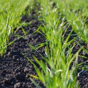 Эксперт рассказал о целесообразности применения стимуляторов роста на озимых