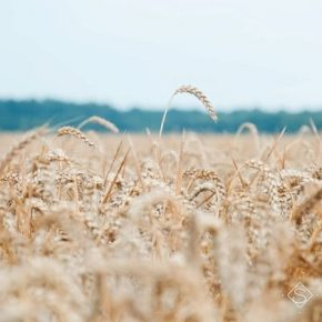 Снижение урожайности пшеницы удалось компенсировать за счет лучшего качества зерна — аграрий