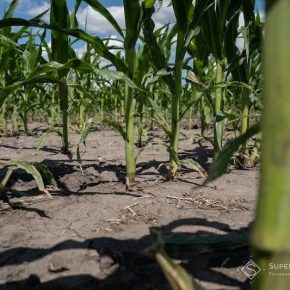 Ученые провели исследование на фитотоксичность смесей гербицидов для кукурузы