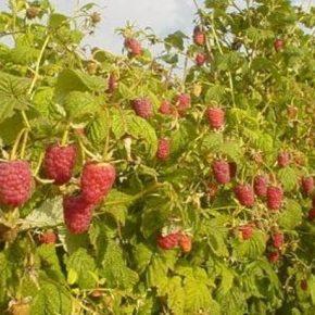 На Сумщине перспективным направлением агробизнеса является ягодоводство