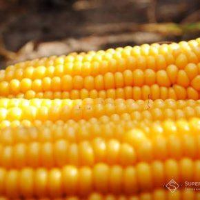 20-21 августа на Киевщине состоится День поля сладкой кукурузы