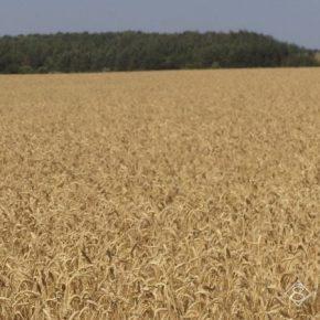 Урожайность зерновых на Сумщине выросла на 7%
