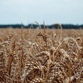 На еще не собранных площадях зерновых культур дохарчовуються вредные хлебные клопы — УААН