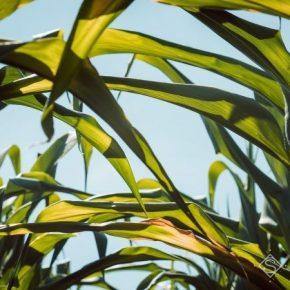 Смещение сроков сева способствовало снижению потерь урожая кукурузы из-за засухи — А опыт.G.R. group