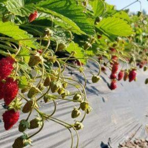 Аграриям рассказали о перспективах выращивания земляники альпийской