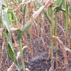Аграриям не удастся избежать потерь урожая кукурузы и подсолнечника из-за засухи — эксперт
