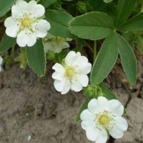 На Киевщине планируют промышленно выращивать лапчатка белая как ценное лекарственное растение