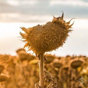 На фоне жары и засухи аналитики снизили прогноз урожайности подсолнечника в Украине