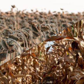 В НААН озвучили основные причины снижения урожайности кукурузы и подсолнечника