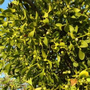 Омела - вечно зеленое растение-паразит, которой предоставляются сверхъестественные свойства