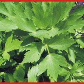 Любисток-лекарственное растения