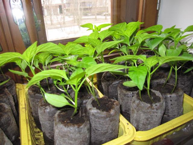 Как вырастить перец