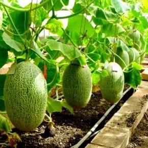 Технология выращивания дыни:биологические особенности