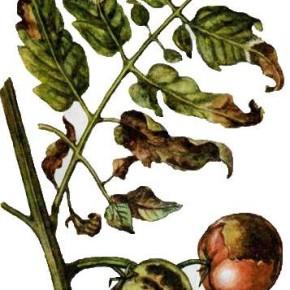 Болезни пасленовых:защита овощей от болезней