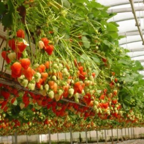 Выращивание клубники в теплице:клубничный бизнес
