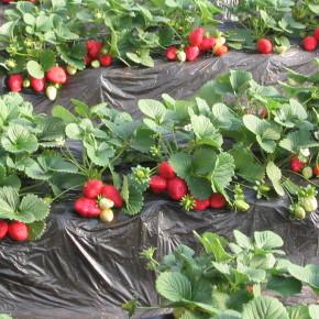 Земляника садовая (клубника) - одна из наиболее распространенных ягодных культур в Украине