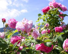 Роза эфиромасличная:выращивание, размножение и сорта
