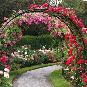 Выращивание роз в саду:лучшие сорта роз