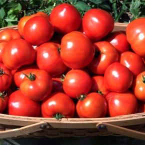 Выращивание томатов:лучшие низкорослые сорта томатов