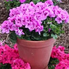Калачики висячие -характеристика растения