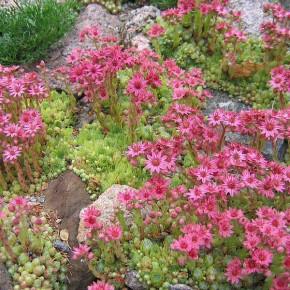 Молодило - характеристика растения