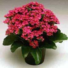 Каланхоэ Блоссфельда:характеристика растения
