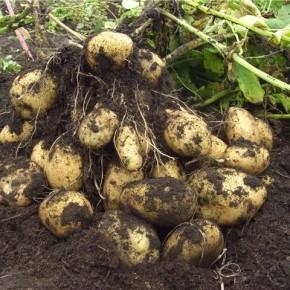 Выращивание картофеля: посадочный материал  в супермаркетах