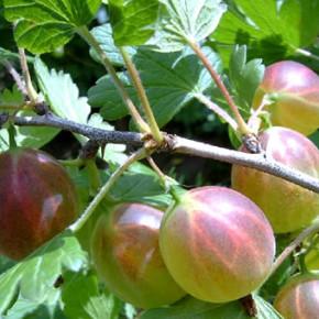 Крыжовник :требования,выращивание,условия