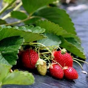 Выращивание клубники:разнообразие сортов растения