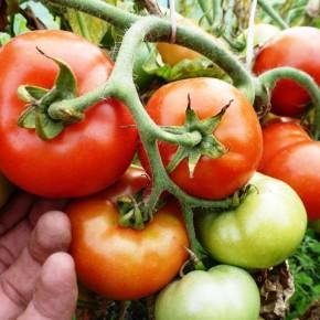 На  новогоднем столе  красные свежие помидоры из собственного огорода
