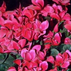 Выращивание цикламена:характеристика растения