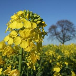 Выращивание рапса:истощает ли растение почву?