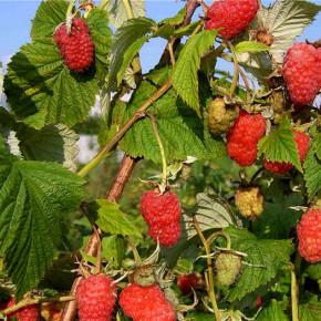 Выращивание малины сорта  Солнце Токио : характеристика растения