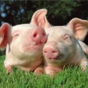 Как определить вес свиньи не взаешивая её?