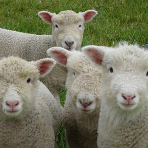 Когда нужно стричь овец?