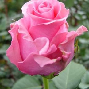 Осень - готовим розы к зимовке